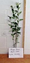 River Birch multi-stem clump tree (betulanigra) in quart pot image 2