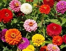 20 Zinnia Seeds Zinnia mix flower Seeds Beautiful summer Flower seeds - $4.99