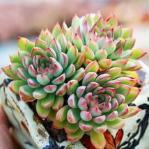 """Echeveria Mebina Succulent Home Garden Rare Plant in 2"""" Planter Live Plant image 4"""
