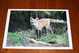 RED FOX KIT PHOTO PHOTOGRAPH 10 x 15 image 1