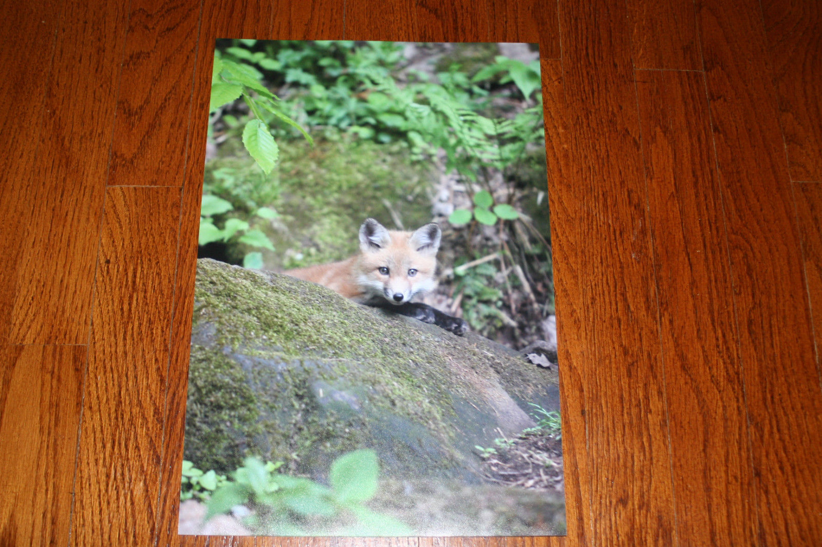 RED FOX PUP PHOTO PHOTOGRAPH 10 x 15