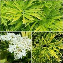 1 Starter Plant Sambucus Golden Tower Approx 4-6 Inch - Home Gardening D05 - $31.99