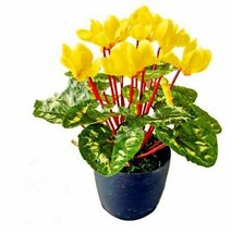 100Pcs/bag Yellow Cyclamen Perennial Bonsai Flower Plants Seeds - $8.82