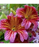 SHIP From US Painted Tongue Velvet Dolly Mix(Salpiglossis Sinuata)100+Se... - $24.99