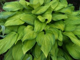 1 Plant Guacamole Hosta Healthy Live Established Roots Perennial 1 Quart... - $30.99