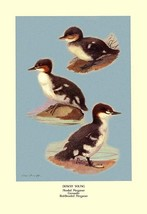 Three Downy Young Ducks by Allan Brooks - Art Print - $19.99+
