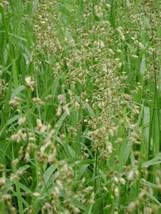 100 Seeds - Heirochloe Odorata (Sweet Grass) SEEDS - W/ TRACKING - $5.99