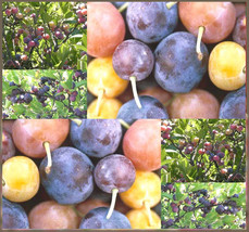 5 Beach Plum Tree Seeds - Prunus maritima - Edible Fruit - $4.50