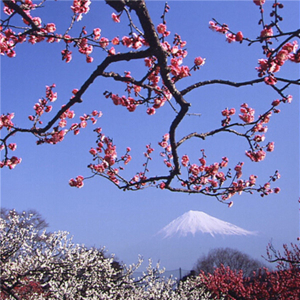 3pcs japanese flower serrulata like fog cherry apricot chinese plum prunus mume tree seeds