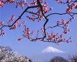 Anese flower serrulata like fog cherry apricot chinese plum prunus mume tree seeds thumb155 crop