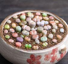 100seeds Lithops Pseudotruncatella Living Stone Rare Succulent Seeds Home Garden - $7.00