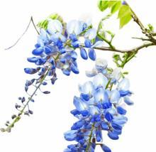 Live Plant - Blue Moon Wisteria Vine - 2 Gall Pot - Gardening - Outdoor Living - $130.99