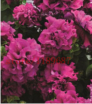 Best Price 200 Seeds Hanging Petunia Flower, Fs Diy Flower Seeds - $6.51