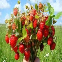 100Pcs Wild Strawberry Seeds Fragaria Vesca Baron Solemacher Fruit Seed - $20.54
