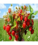 100Pcs Wild Strawberry Seeds Fragaria Vesca Baron Solemacher Fruit Seed - €18,12 EUR
