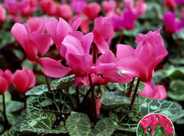 5pcs Very Admirable Florist's Cyclamen Rose Red Flowers Seeds IMA1 - $13.99