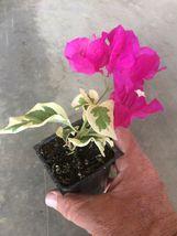 Live Plant  - Bougainvillea - 'Raspberry Ice' - Yard, Garden & Outdoor Living - $40.00
