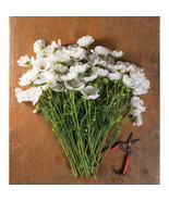 Afternoon White Cosmos Seed / Rubenza Cosmos Flower Seeds - $17.00