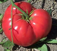 SHIP From US, 10 Seeds Gregori's Altai Tomato Seeds, DIY Healthy Vegetab... - $18.99