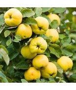 LIVE PLANT Le Page Quince heirloom fruit tree seedling hardy edible Pear... - $55.99