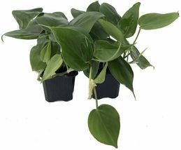 2 Live Plants Indoor Houseplant Philodendron Cordatum Heart Leaf Gardening - $60.99