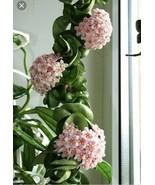 Hoya Hindu Rope Wax Flower Plant Live Plant - $8.54