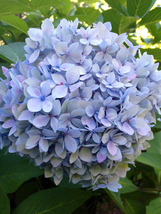 Starter Plant - Hydrangea Miscellaneous - $17.80