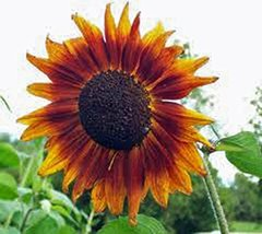 Sunflower, Autumn Beauty 25+ Seeds Organic Newly Harvested, Vivid Colorf... - $5.69