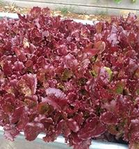2500 Seeds Super Red Romaine Lettuce - $13.86