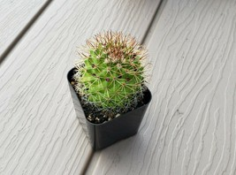 """ERIOSYCE"" CACTUS IN 2"" POT - $7.41"