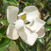 Flowering Shrub SouthernMagnolia Tree Live Established 1 Plant in Gallon... - $59.99