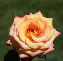 """ 50 seeds Large Light Yellow Rose Flower Seeds, Professional Pack GIM "" - $11.98"