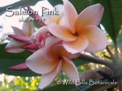 Primary image for Rare & Exotic Colorful Fragrant Thai *Salmon Pink* Plumeria frangipani cutting
