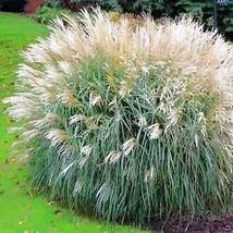 SHIP From US Chinese Silver Grass(Miscanthus Sinensis Early Hybrids)30+SeedsUTS2 - $24.99