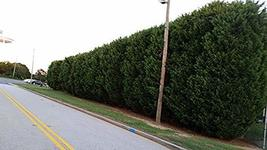 Pixies Gardens Green Giant Thuja - Nature's Privacy Fence Green Tall and... - $104.98
