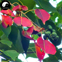 Buy Sapium Sebiferum Tree Seeds 30pcs Plant Stuppinu Tree For Chinese Wu... - $5.99