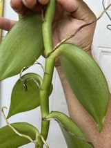 """Vanilla planifolia Orchid Plant Species 24"""" Cutting Rooted And Ready To Grow 127 image 4"""