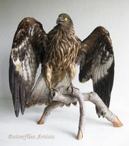 Milvus Migrans Eurasian Black Kite Taxidermy Real Stuffed Bird Prey Hunt... - $579.99