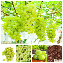 50 Pcs / Bag Green Grape Seeds Sweet And Delicious Fruit Vegetable Seeds - $4.76