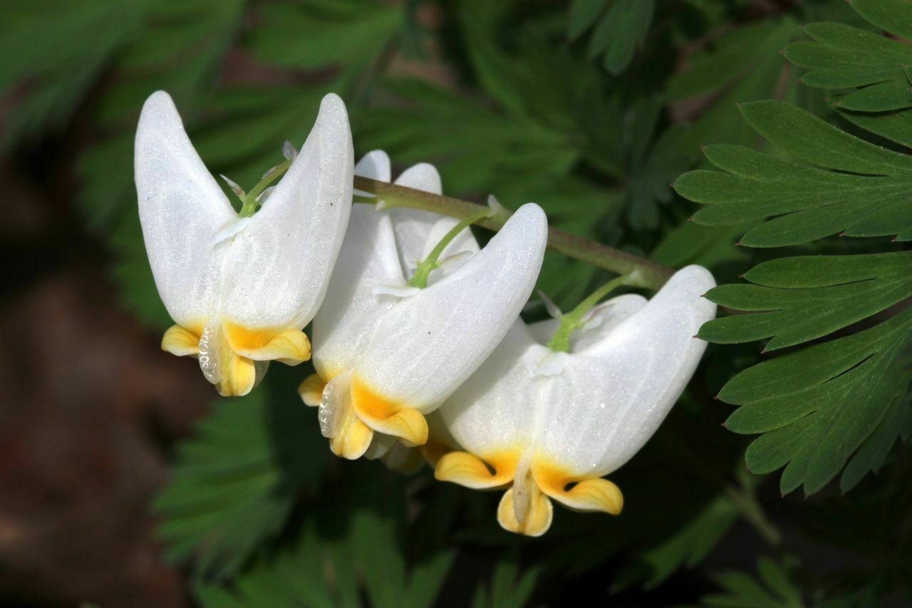 Dutchman's Breeches 5 bulbs-root systems