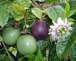 Possum Purple Passion Fruit Plant Passiflora edulis - $27.59