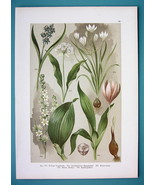 BOTANICAL PRINT 1896 Color Litho - Wild Garlic Star of Bethlehem Squill ... - $16.83