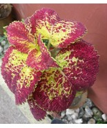 "100 Seeds Rainbow Coleus ""MAYANA"" Bonsai Plant Bonsai Tree Decor Balcony... - ₹488.25 INR"