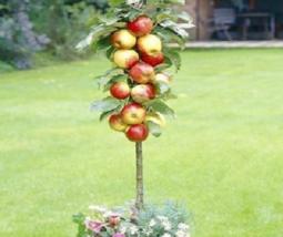 BEST PRICE 50 Seeds Red Apple Tree Bonsai,DIY Fruit Seeds FS033 DG - $22.00