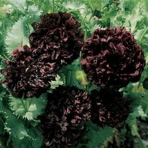 SHIP FROM USA Peony Black Flower Seeds (Papaver Paeoniflorum) 200+Seeds UDS - $34.93