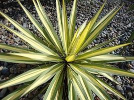 Color Guard Yucca - Live Plant in a 2 Gallon Pot - Yucca Filamentosa 'Color Guar - $66.30