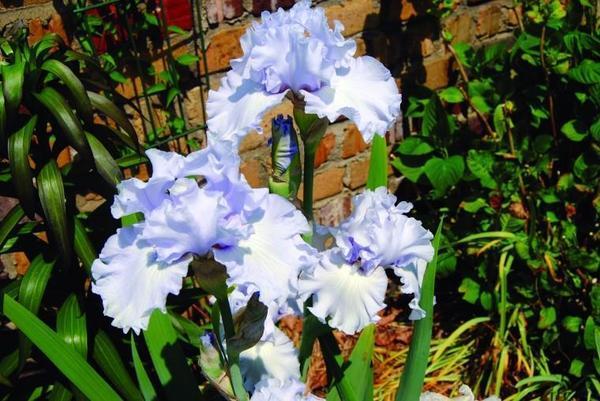Iris Plant Bulbs