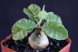 "SHIPPED From US_Dorstenia foetida exotic bonsai caudex rare succulent 2"" pot-EC - $70.99"