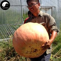Buy Huge Pumpkin Seeds 15pcs Plant Diabetes Vegetable Melon Cucurbita Mo... - $5.99