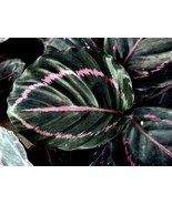 "HS Garden - 50 pcs/pack Rare Calathea ""roseopicta"" Bonsai Plants - $2.65"